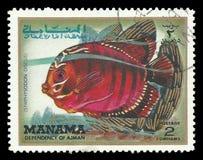 Pesce tropicale, disco di Symphysodon immagini stock