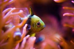 Pesce tropicale e la scogliera Immagini Stock