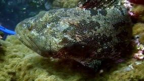 Pesce tropicale macchiato su fondo blu del fondo del mare in oceano su Galapagos stock footage