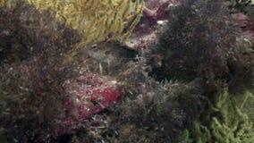 Pesce tropicale macchiato su fondo blu del fondo del mare in oceano su Galapagos video d archivio