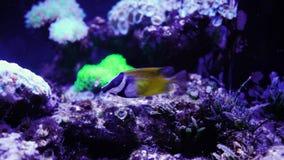 Pesce tropicale nei coralli viventi video d archivio