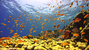 Pesce tropicale su Coral Reef vibrante Fotografie Stock Libere da Diritti