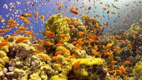 Pesce tropicale su Coral Reef vibrante Immagini Stock Libere da Diritti