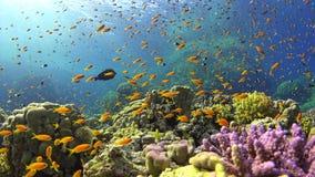 Pesce tropicale su Coral Reef vibrante Fotografia Stock Libera da Diritti