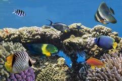 Pesce tropicale sul mare di Coral Reef in rosso Fotografia Stock