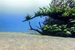 Pesce tropicale in un acquario che rappresenta i environmen tipici fotografie stock