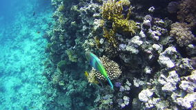 Pesce tropicale variopinto sul mare di Coral Reefs Underwater in rosso stock footage