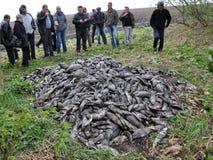Pesce ucciso dello stagno Fotografia Stock Libera da Diritti