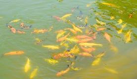 Pesce Underwater giallo ed arancio - fondo acquatico immagini stock