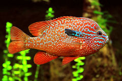 Pesce variopinto Fotografie Stock Libere da Diritti