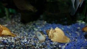pesce variopinto che gode nell'acquario specialmente decorato archivi video