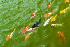 Pesce variopinto della carpa in acqua verde Fotografia Stock Libera da Diritti