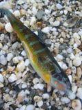 Pesce variopinto di estate piccolo fine del tiro della sabbia della spiaggia sulla macro su immagini stock libere da diritti