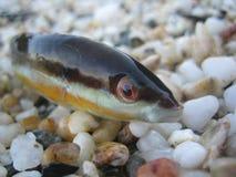Pesce variopinto di estate piccolo fine del tiro della sabbia della spiaggia sulla macro su immagine stock