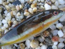 Pesce variopinto di estate piccolo fine del tiro della sabbia della spiaggia sulla macro su fotografia stock libera da diritti
