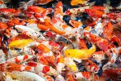 Pesce variopinto di koi nel fondo dello stagno immagini stock libere da diritti