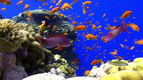 Pesce variopinto su Coral Reef vibrante stock footage