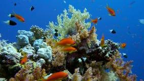 Pesce variopinto su Coral Reef vibrante, Mar Rosso video d archivio