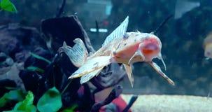 Pesce variopinto tropicale nell'acquario con acqua blu e l'ambiente reale, scorrenti con lento stock footage