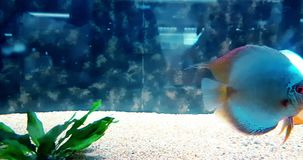 Pesce variopinto tropicale nell'acquario con acqua blu e l'ambiente reale, scorrenti con lento video d archivio
