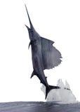 Pesce vela del Pacifico Fotografie Stock Libere da Diritti