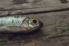 Pesce vicino Fotografia Stock