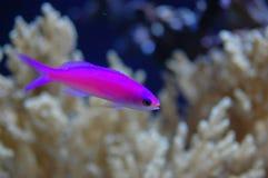 pesce viola Στοκ Εικόνες