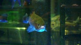Pesce vivo nel deposito dell'acquario al mercato ittico, primo piano video d archivio