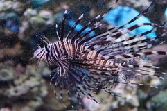 Pesce zebra Fotografia Stock