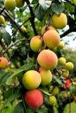 Pesche di maturazione fresche sull'albero nel frutteto di frutta Fotografia Stock Libera da Diritti
