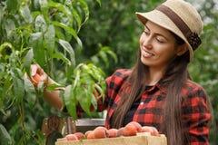 Pesche di raccolto del giardiniere della donna Fotografia Stock Libera da Diritti