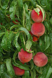 Pesche fresche dell'azienda agricola mature sull'albero Fotografia Stock