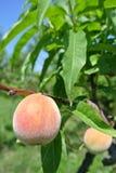 pesche gialle Semi-mature sull'albero in un frutteto Fotografia Stock