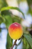 Pesche organiche fotografie stock