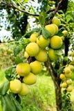Pesche sull'albero nel frutteto di frutta Fotografie Stock