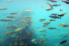 Peschi circondando, sosta atlantica del mare, Norvegia Immagine Stock