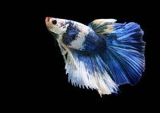 Peschi il combattimento, il bello pesce, pesce variopinto che combatte il Siam, su un fondo nero Immagini Stock