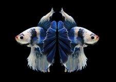 Peschi il combattimento, il bello pesce, pesce variopinto che combatte il Siam, su un fondo nero Fotografia Stock