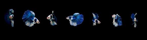 Peschi il combattimento, il bello pesce, pesce variopinto che combatte il Siam, su un fondo nero Immagini Stock Libere da Diritti