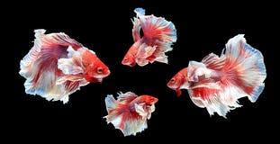 Peschi il combattimento, il bello pesce, pesce variopinto che combatte il Siam, su un fondo nero Fotografia Stock Libera da Diritti