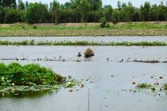 Peschi il pesce sulla stagione di inondazione al delta del Mekong Fotografia Stock Libera da Diritti