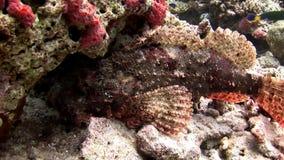 Peschi il underwater di pietra su fondo della barriera corallina del fondale marino stupefacente in Maldive archivi video
