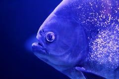 Peschi l'acqua blu di colore del particolare a macroistruzione del fronte del piranha Immagini Stock