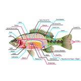 Peschi l'anatomia del diagramma di arte di vettore degli organi interni con le etichette illustrazione di stock