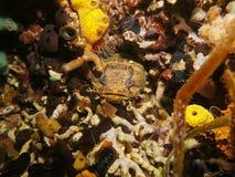 Peschi la testa del toadfish dell'ostrica nascosta in un foro Immagine Stock