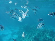 Peschi nel Mar Rosso Fotografia Stock Libera da Diritti
