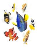 Peschi, pesci della scogliera, partito dei pesci di mare isolato sul whi Fotografia Stock Libera da Diritti