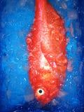 Pesci Fotografie Stock