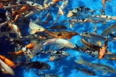 Pesci in acqua blu-chiaro Immagini Stock
