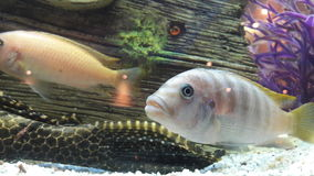Pesci in acquario Fotografia Stock Libera da Diritti